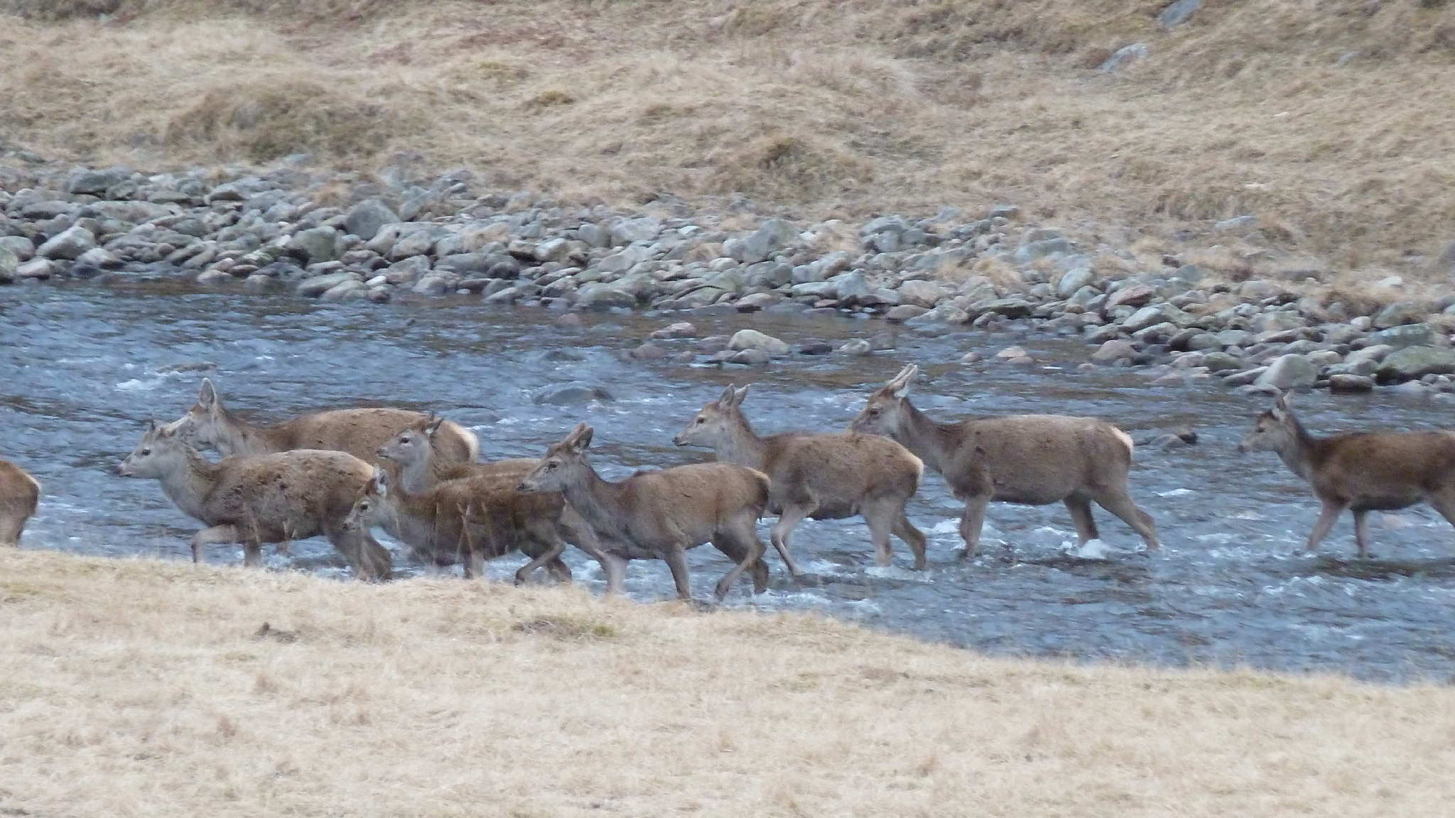 Deer crossing river by lodge